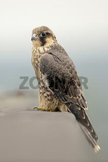 in luftiger Höhe ... Wanderfalke *Falco peregrinus*