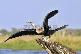 Afrikanischer Schlangenhalsvogel (Anhinga melanogaster rufa) am Chobe Fluss, Chobe-Nationalpark, Botswana, Afrika, African Darter, Snakebird, Chobe NP, Africa