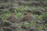 in heavy rain... Grey Partridges *Perdix perdix*