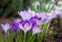 Crucus Flowers