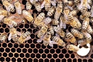 Bienen beim Nestbau