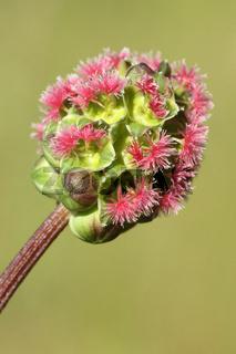 Blüten des Kleinen Wiesenknopfs