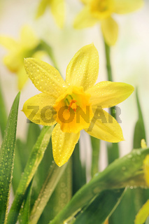 Narcissus flowers and green leaves