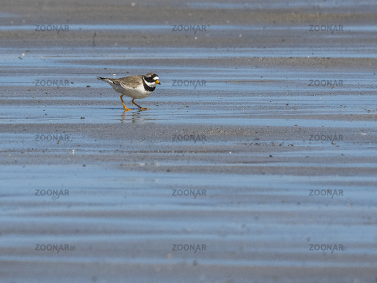 Great ringed plover