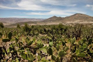 Kakteen in den Anden / Cactus In The Andes