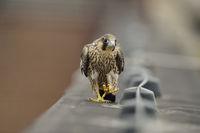 walking... Peregrine Falcon *Falco peregrinus*, young male walks along a roof edge, looks funny