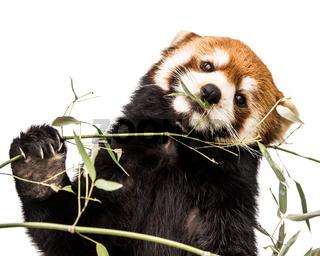 Red Panda XIV
