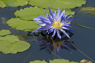 Seerose (Nymphaea sp.)