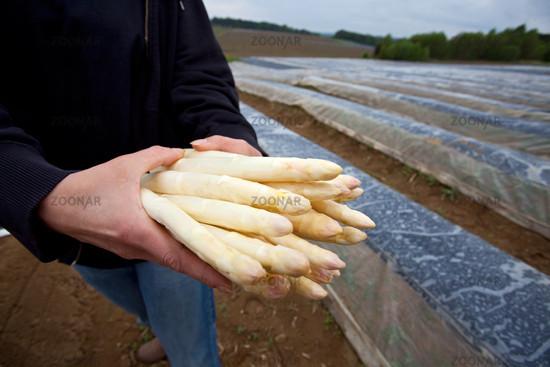 white asparagus on an asparagus field