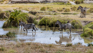 Zebras, Spaziergang durchs Wasser