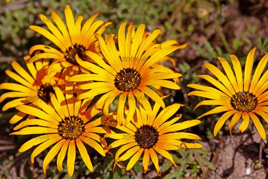 flower saison at West Coast National Park, Postberg sector, South Africa
