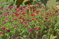 Tagetes flower field