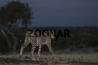 Gepard (Acinonyx jubatus), Mashatu Game Reserve, Botswana