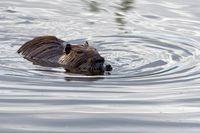 young coypu swimming