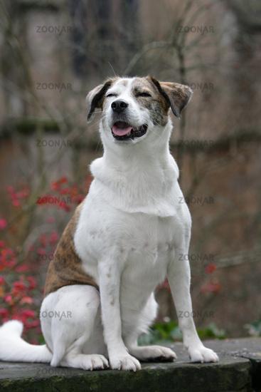 sitting and smiling white dog