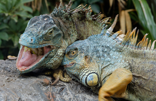 two animal fight , green iguana / American iguana