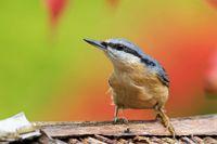 nuthatch on the bird house