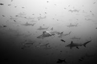 Schule Bogenstirn-Hammerhaie, Galapagos, Ecuador