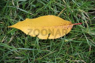 herbstblatt, gelb