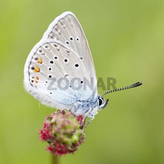 Vogelwicken Bläuling (Polyommatus amandus) - Amandas Blue (Polyommatus amandus)