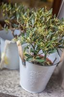 Small olive trees in white pots