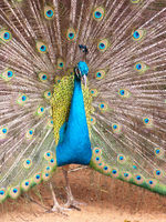 A colored peacock showing his impressive feathering