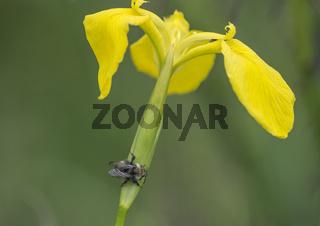 Yellow Iris with Wild Bee