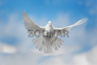 White dove is flying