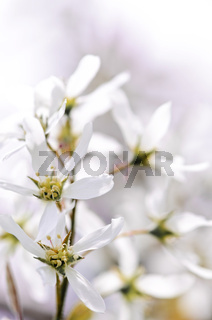 Gentle white spring flowers