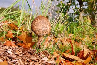 Riesenschirmpilz - Parasol mushroom 13