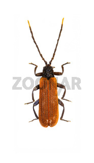 Net-winged Beetle on white Background  -  Platycis minutus (Fabricius, 1787)