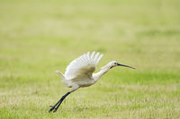 Common spoonbill starting
