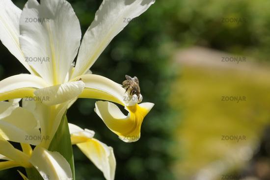 Iris ochroleuca, syn. Iris orientalis, oriental iris, with bee