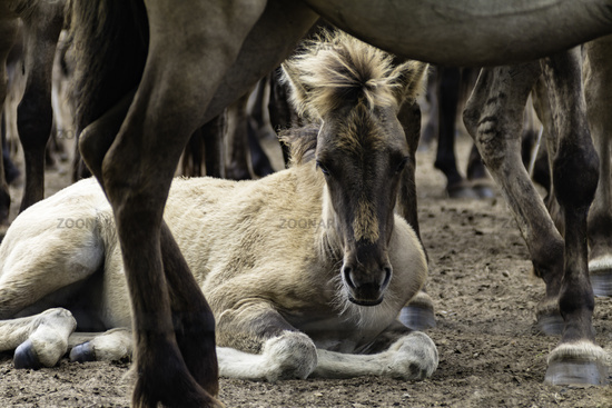 Foals safely in the herd, wild horses in Merfelder Bruch, Dülmen, North Rhine-Westphalia, June,