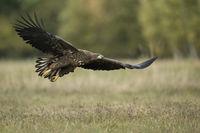 stretched wings... White-tailed Eagle *Haliaeetus albicilla*