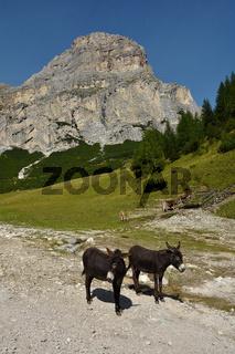 Esel und Kuehe vor Sassongher bei Kolfuschg im Gadertal; Dolomiten; Suedtirol;