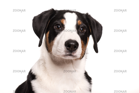 appenzeller dog in portrait
