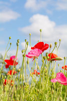 Red and pink poppy flowers sticking out into the blue sky