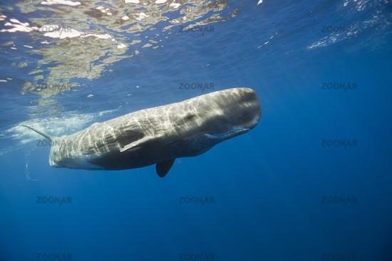 Pottwal, Physeter catodon, Kleine Antillen, Karibik, Dominica, Sperm Whale, Lesser Antilles, Caribbean