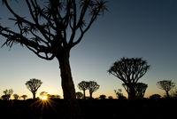 koecherbaeume, quiver trees, Aloe dichotoma