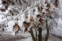 Ice covering dried up leaves