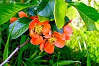 Quince blooming
