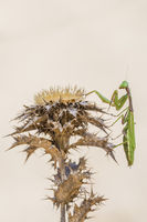Mediterranean mantis, Iris oratoria, Mittelmeer Gottesanbeterin