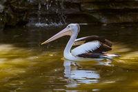 Pelican in Bali Island Indonesia