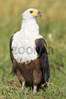 Schreiseeadler (Haliaeetus vocifer), Chobe Fluss, Chobe River, Chobe National Park, Botswana, Afrika, African Fish Eagle, Africa
