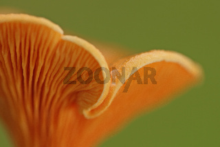 Falscher Pfifferling (Hygrophoropsis aurantiaca)