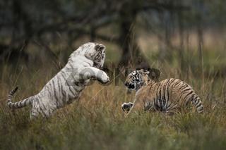 verspielt... Königstiger *Panthera tigris*