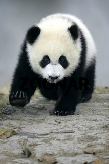 Giant Panda Cub