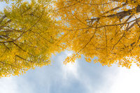 Ginkgo trees Autumn