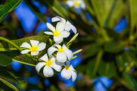 Frangipani (Plumeria) flower - symbol of Bali Indonesia